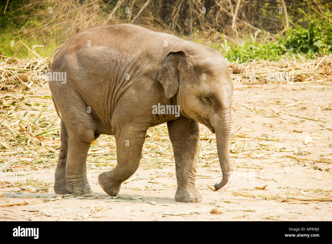 Baby Asian elephant walking isolated in nature - Stock Image