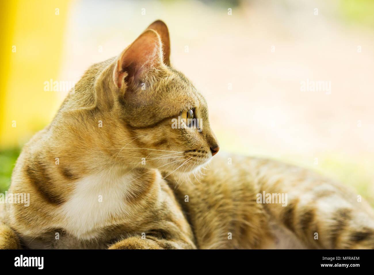 Domestic yellow cat - Stock Image