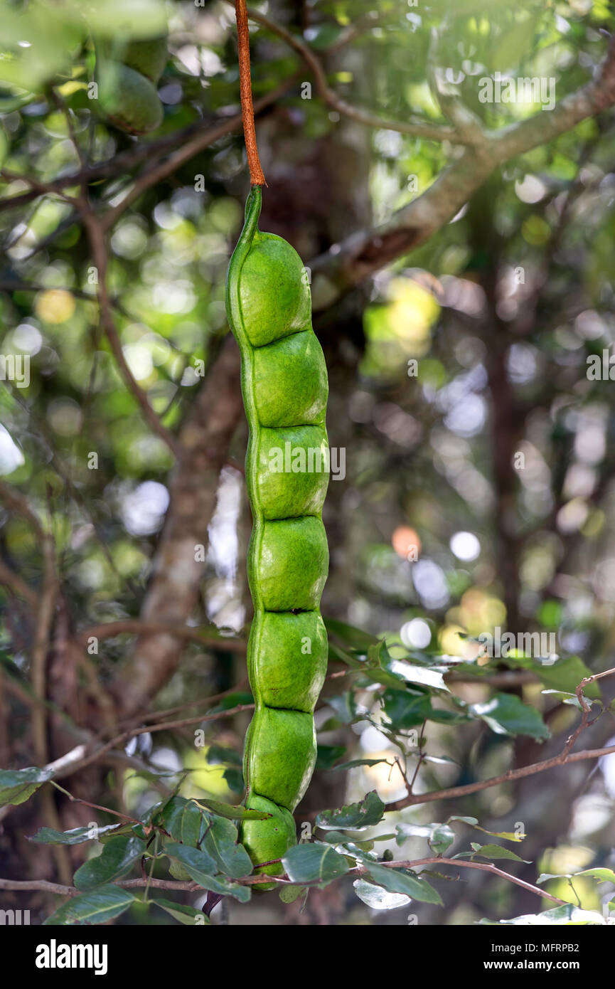African dream herb (Entada rheedeii), legume hanging from a tree, Ankanin Ny Nofy, Madagascar - Stock Image