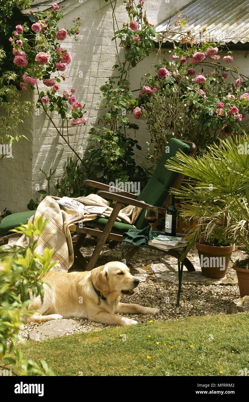 A golden Labrador retriever dog lying in a back garden sun lounger ...