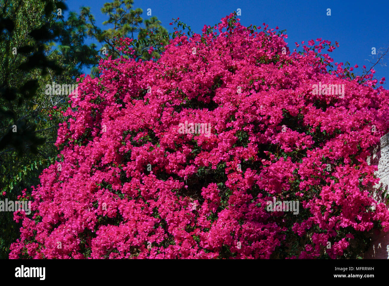 Bougainvillea bush stock photos bougainvillea bush stock images flaming red flowers of a large bougainvillea bush stock image mightylinksfo