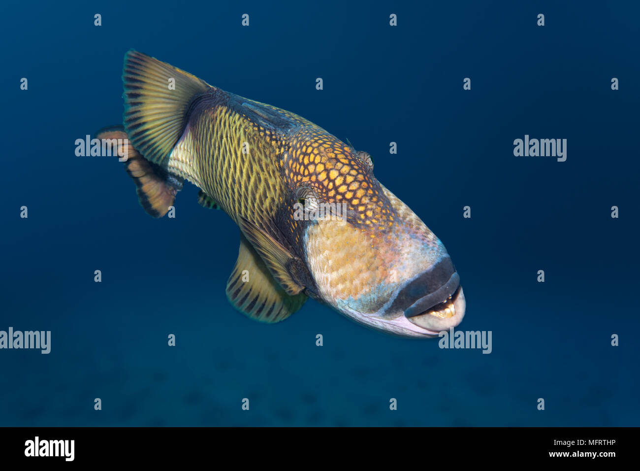 Titan triggerfish (Balistoides viridescens), Indian Ocean, Maldives - Stock Image