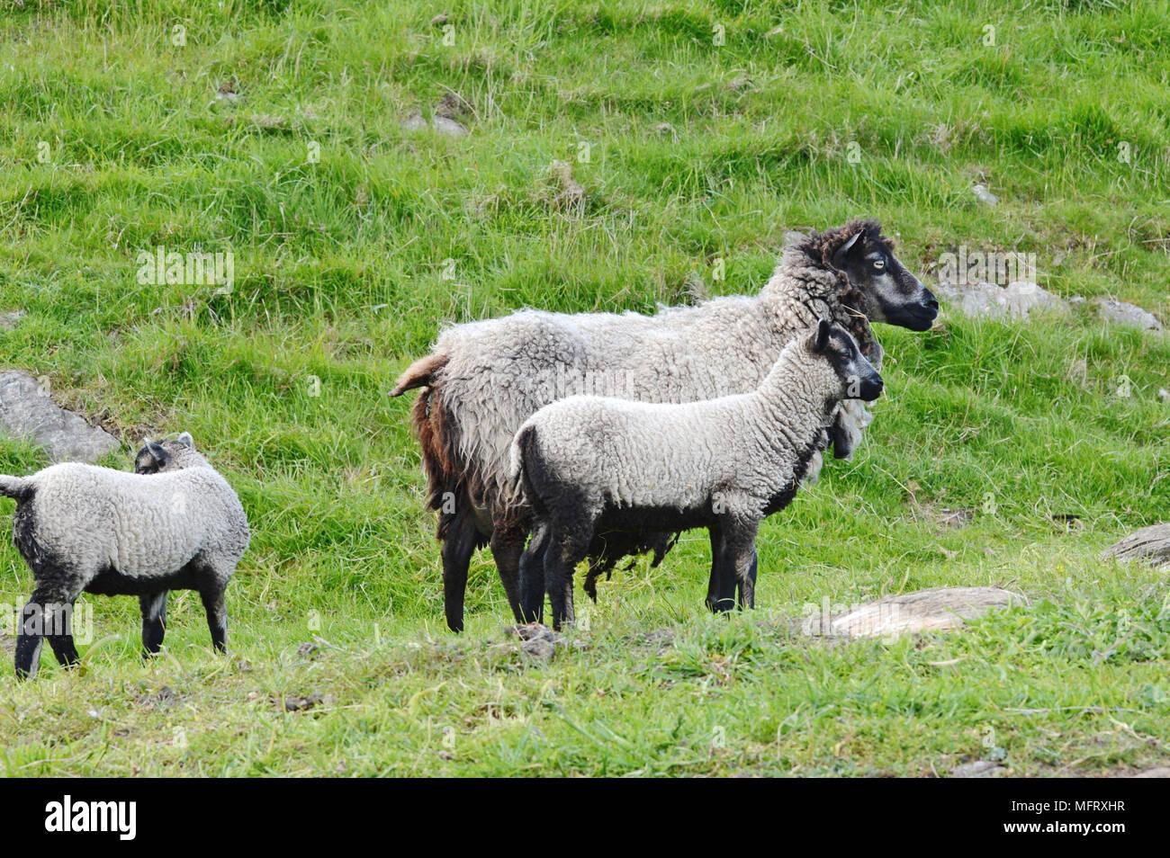 Native Shetland Sheep and lambs on a croft in Shetland - Stock Image