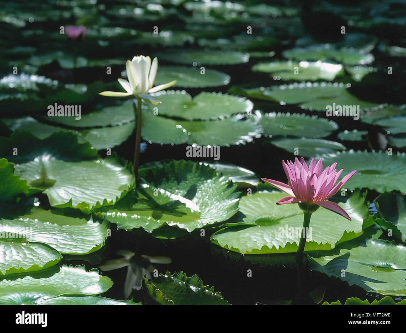 Water Lily Lotus Flowers Floating In Pool Stock Photo 181852650 Alamy
