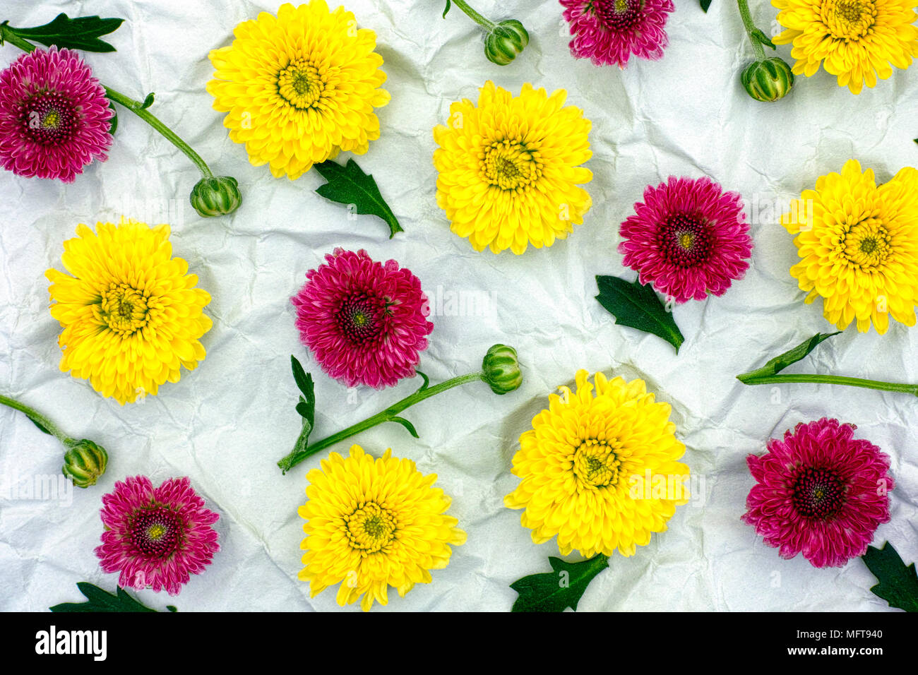 Burgundy and yellow chrysanthemum on crumpled gray paper. Floral Pattern. - Stock Image