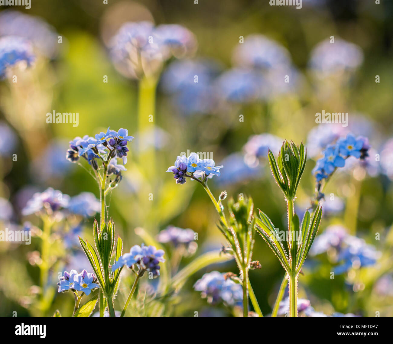 Myosotis Sylviatica, Forget Me Not, macro image showing delicate blue flowers with yellow centre and green foliage, Shepperton, England, U.K. Stock Photo