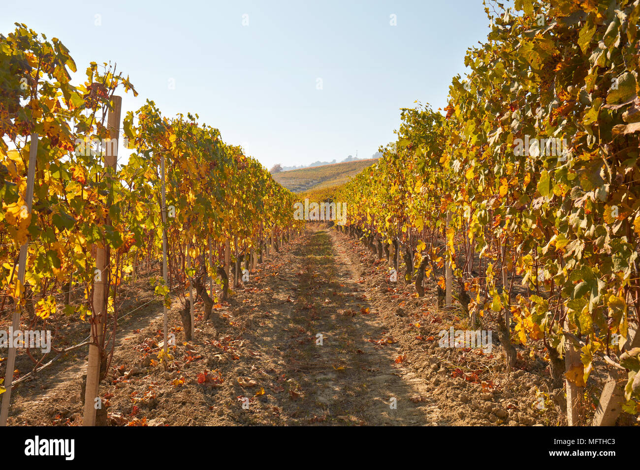 Path in the vineyard in autumn with yellow leaves in a sunny day, vanishing point - Stock Image