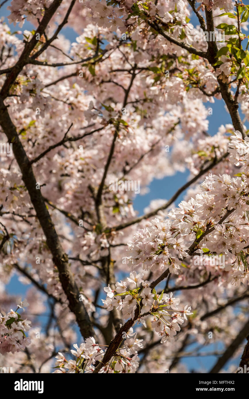 White blossoms on a tree on the green field - Stock Image