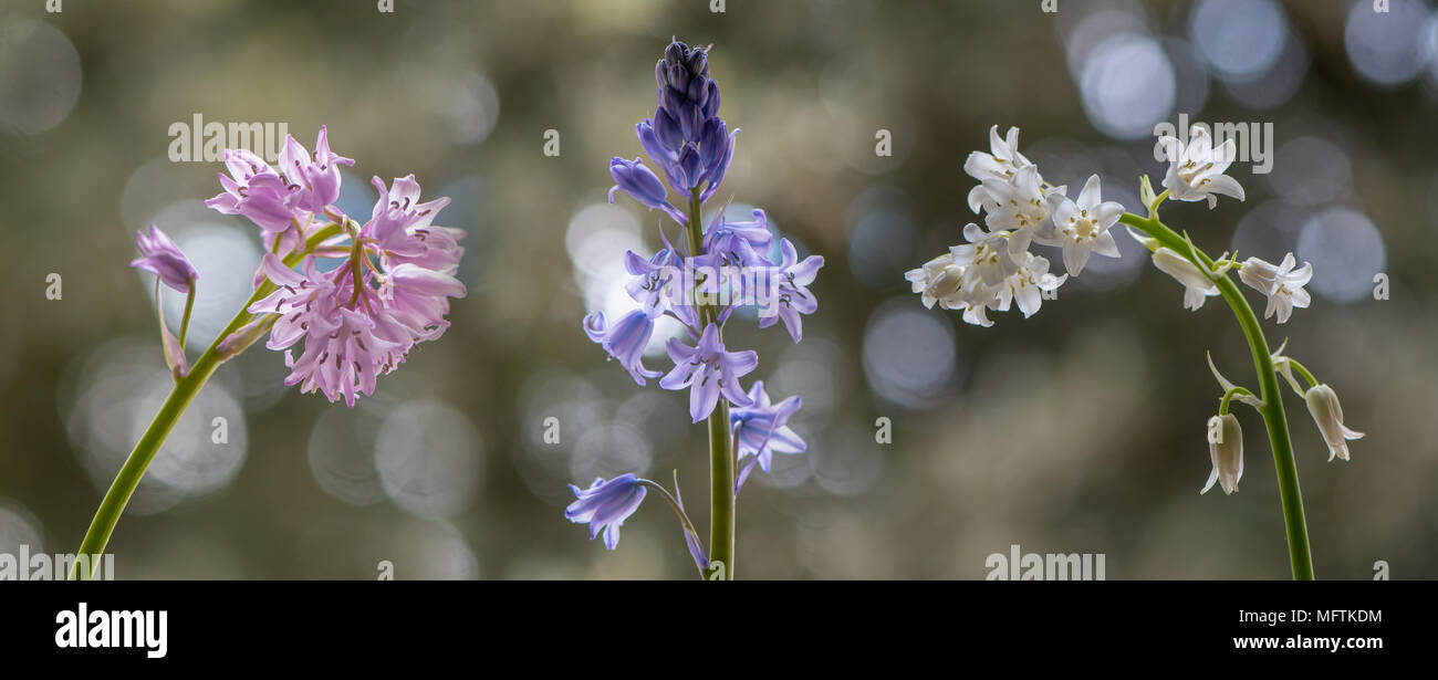 Colour forms of Spanish bluebell (Hyacinthoides hispanica). Pink, white and blue varieties of species introduced to the UK, in the family Asparagaceae - Stock Image