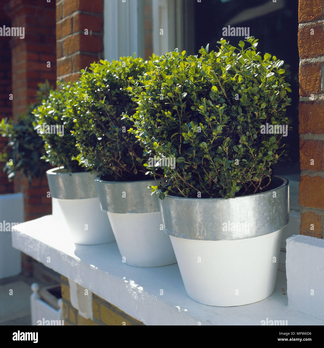 A Detail Of An Exterior Window Sill Three Buxus Sempervirens