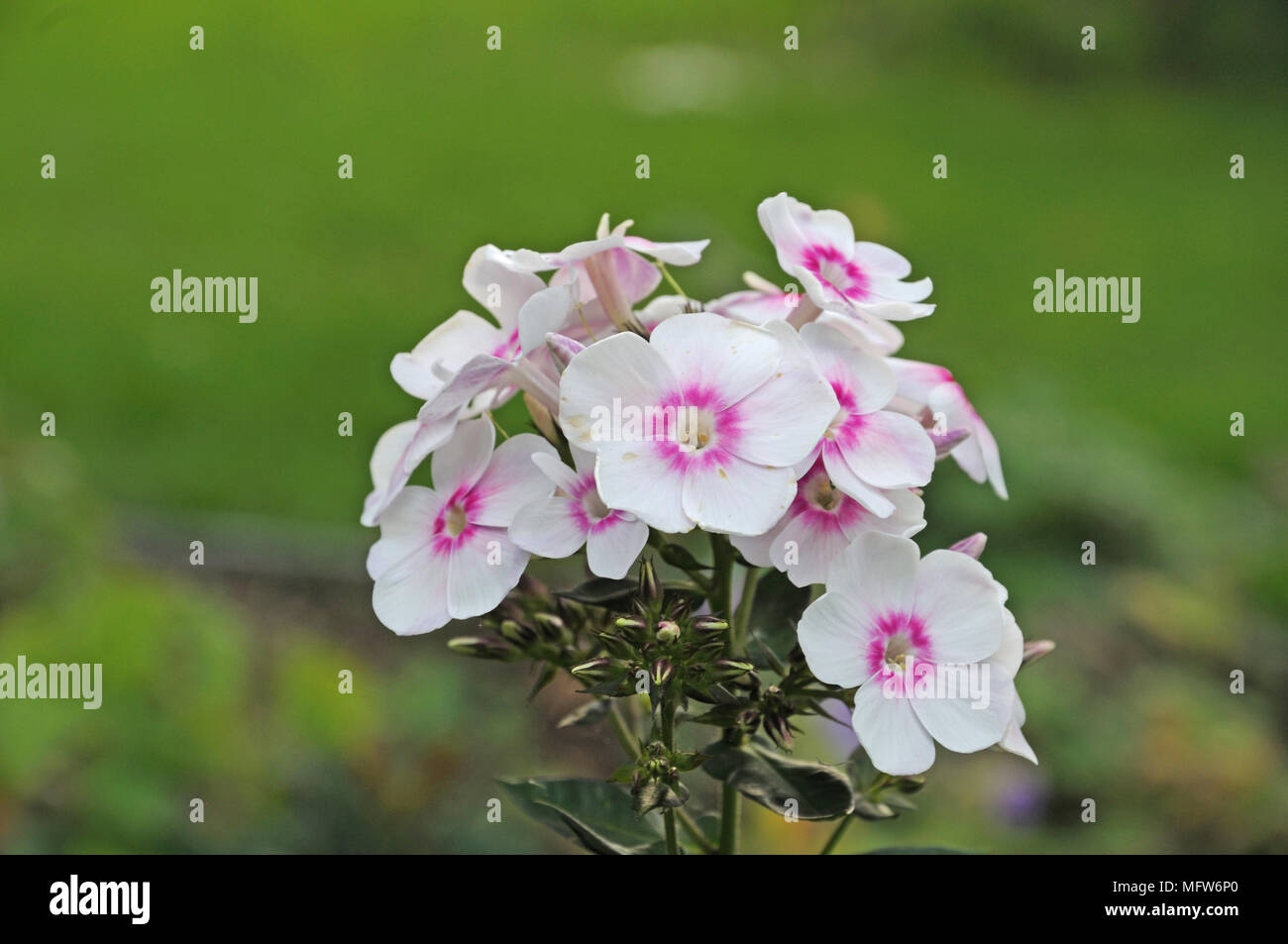 White and pink colored flowers of a garden phlox stock photo white and pink colored flowers of a garden phlox mightylinksfo