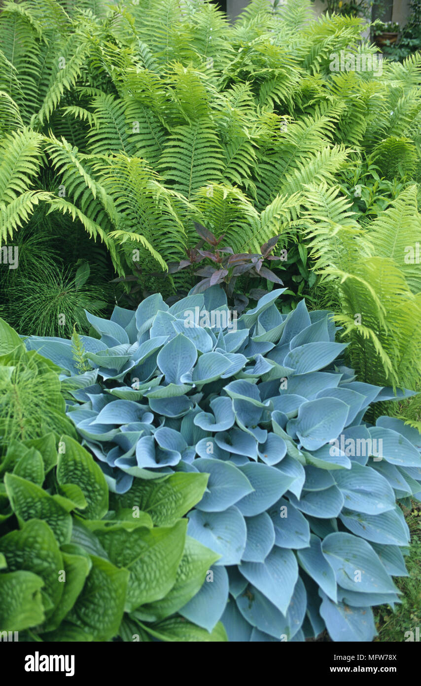 Close Up Of Hostas And Ferns In Flower Border Stock Photo 181878058
