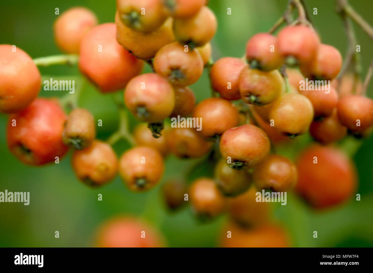 Red berries - Stock Image