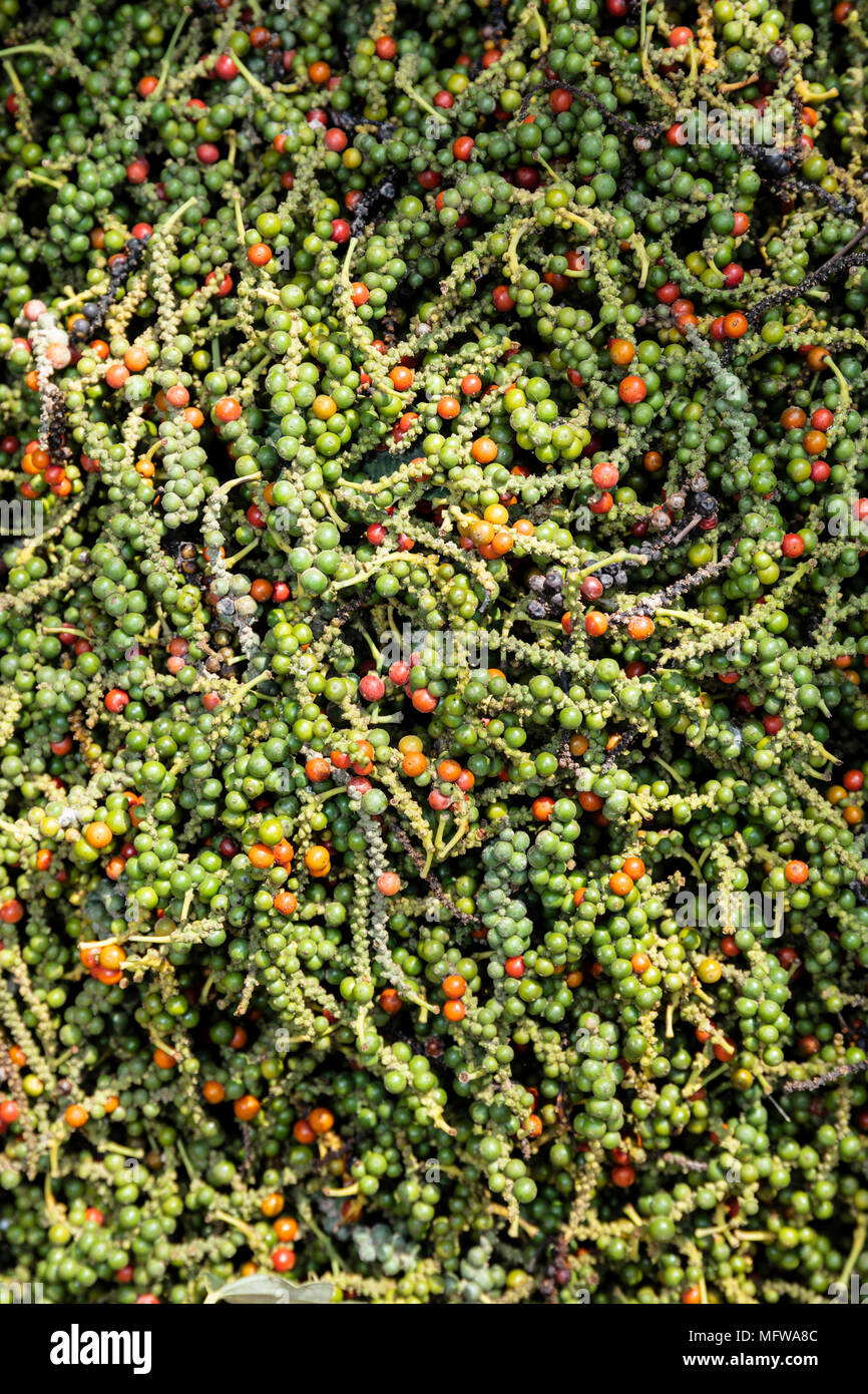 Freshly harvested pepper fruits (pepper corns) in a plantation in Kampot, Colombia - Stock Image