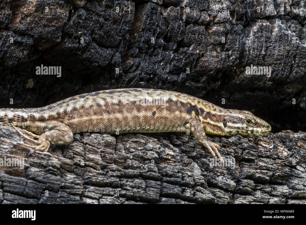 Common wall lizard (Podarcis muralis / Lacerta muralis) basking in the sun on scorched tree trunk - Stock Image