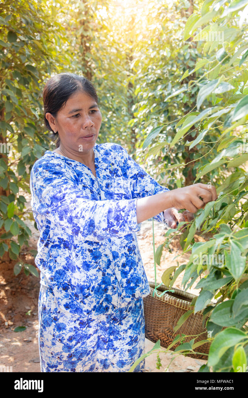 A woman picking raw green pepper fruits (pepper corns) in a pepper plantation in Kampot, Cambodia - Stock Image