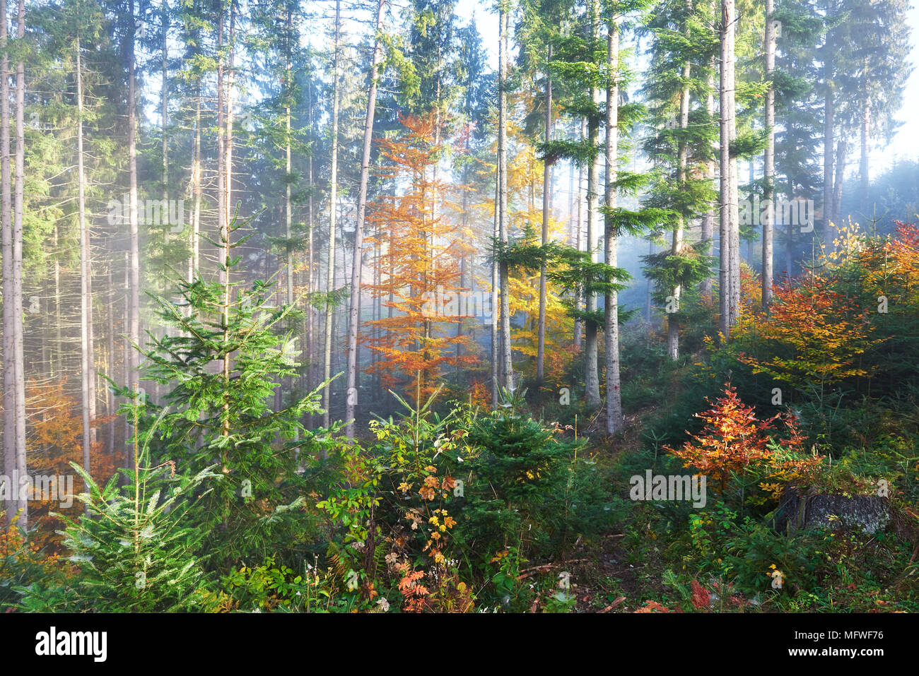 Beautiful morning in the misty autumn forest with majestic colored ...