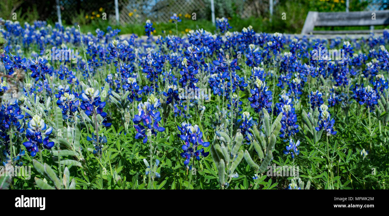 Fields of Bluebonnets found at a Butterfly Garden in NW Texas at Kerrville-Schreiner Park. Noted as a prized Monarch Butterfly sanctuary. - Stock Image