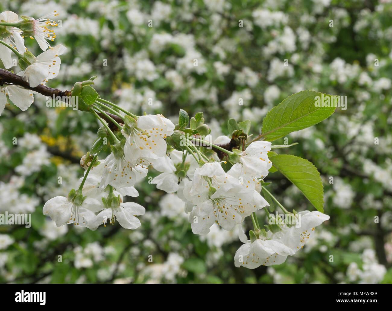 Cherry Blossom Flower Vector Stock Photos & Cherry Blossom Flower ...