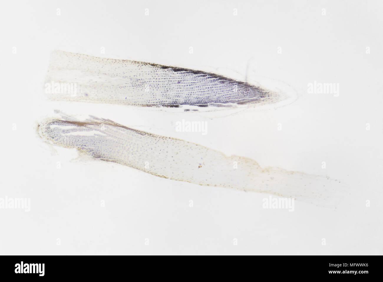 Microscopic photography. Root of allium cepa, transversal section. - Stock Image