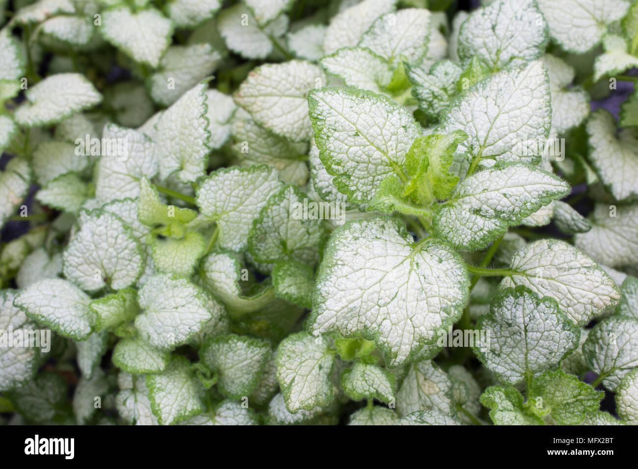Lamium Maculatum White Nancy Stock Photo 181896172 Alamy
