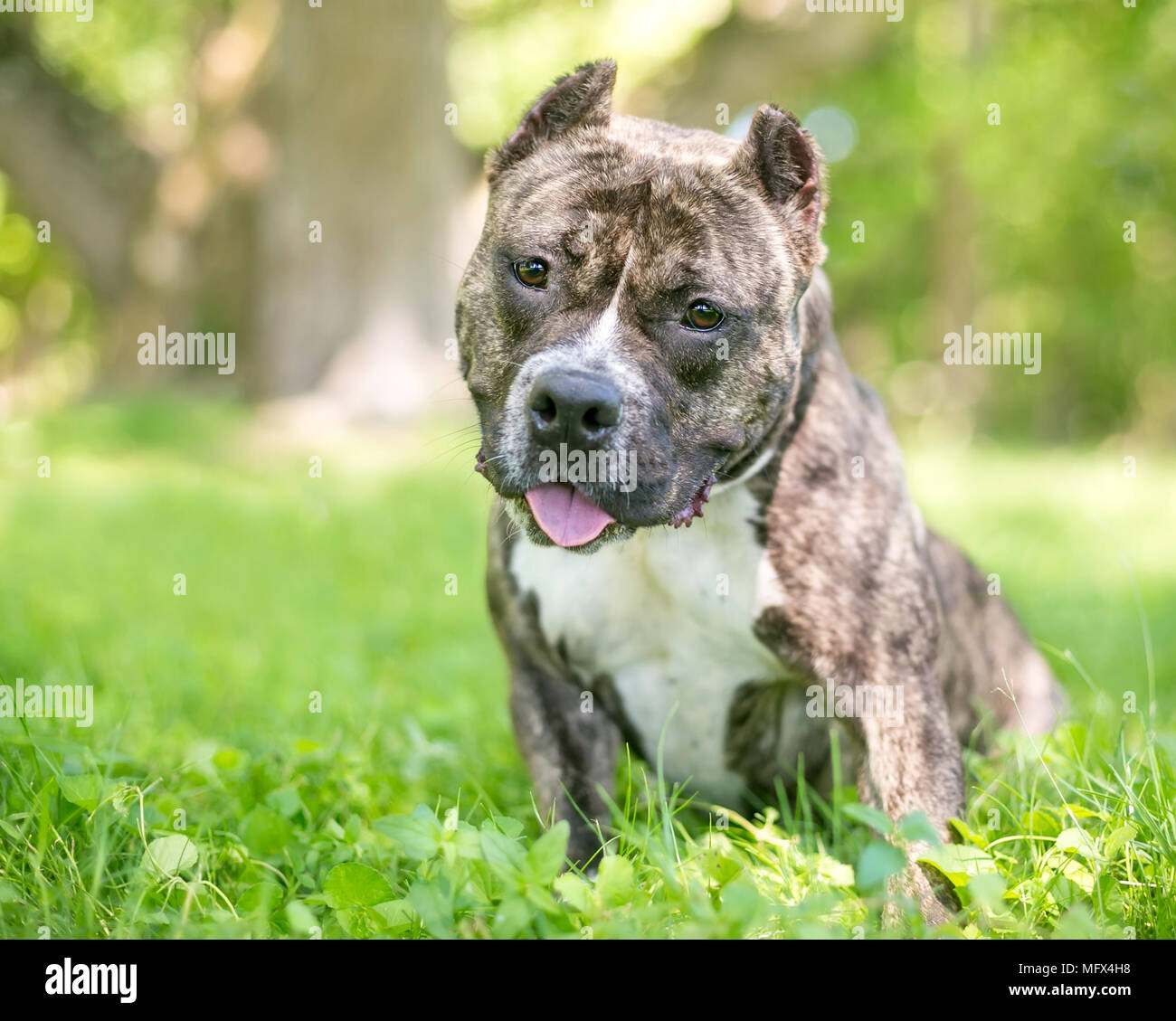 A friendly Staffordshire Bull Terrier / Pit Bull dog with cropped ears - Stock Image