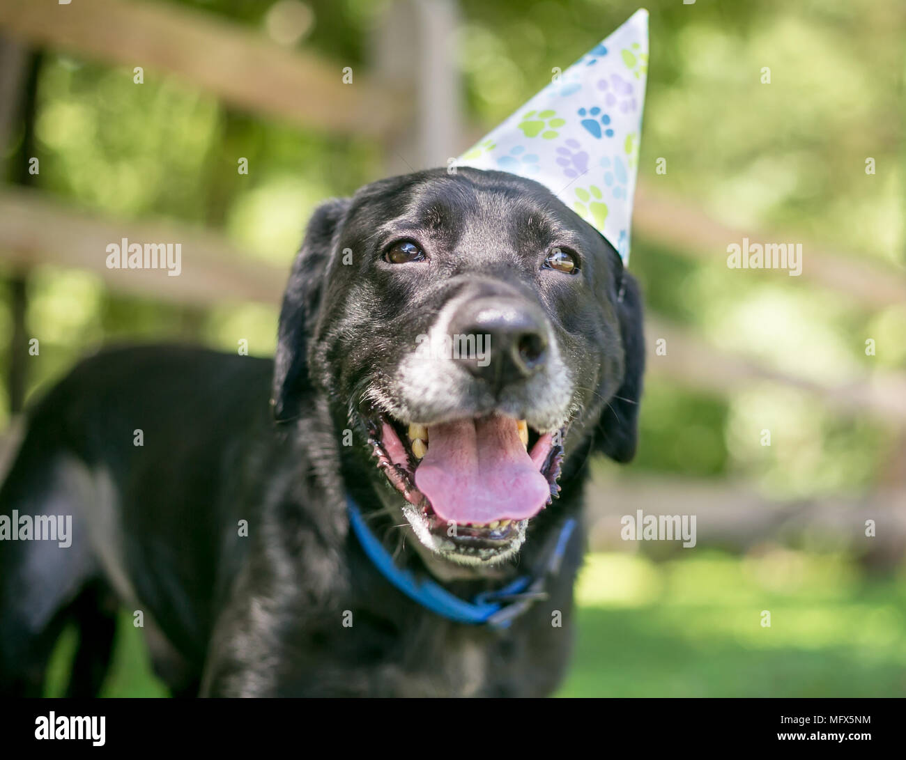 Labrador Retriever Black Dog Grumpy