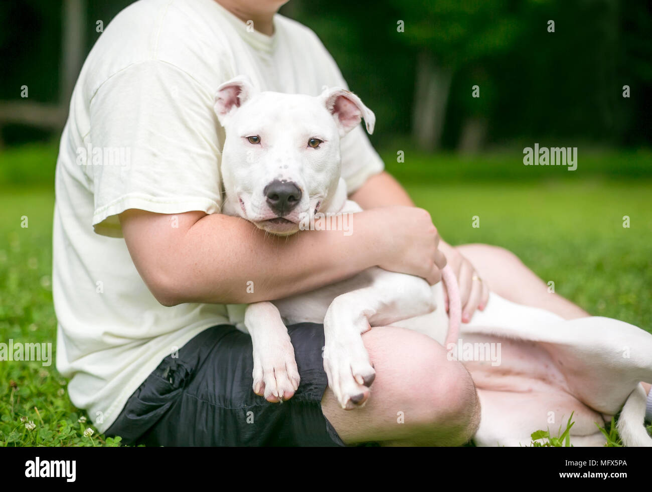 A Pit Bull Terrier mixed breed dog cuddling in a person's lap - Stock Image