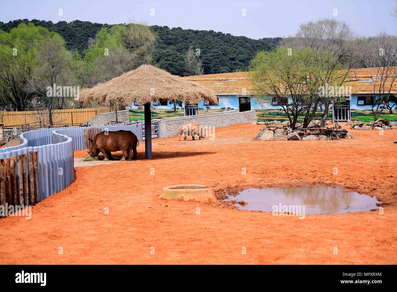 Shenyan, Shenyan, China. 26th Apr, 2018. Shenyang, CHINA-26th April 2018: White rhinos at Shenyang Forest Zoo in Shenyang, northeast China's Liaoning Province, April 26th, 2018. The Northern White Rhino (Ceratotherium simum cottoni) is the rarest and most endangered subspecies, and probably extinct in the wild. Credit: SIPA Asia/ZUMA Wire/Alamy Live News Stock Photo