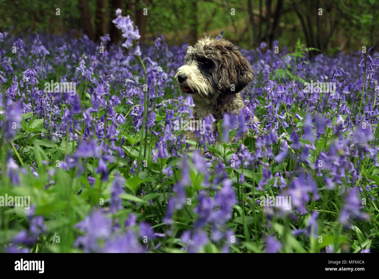 Cookie the cockapoo dog amongst the bluebells as they carpet the floor of a woods in Peterborough, Cambridgeshire, on April 26, 2018. - Stock Image