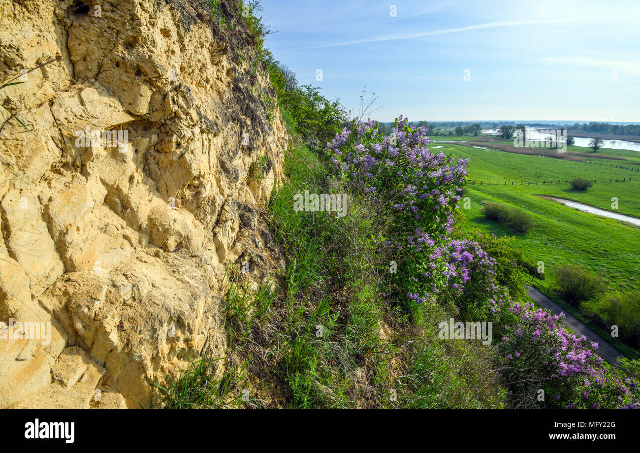 Kinderschoenen 27.27 April 2018 Germany Lebus Lilac Bushes Blossoming In The Steep