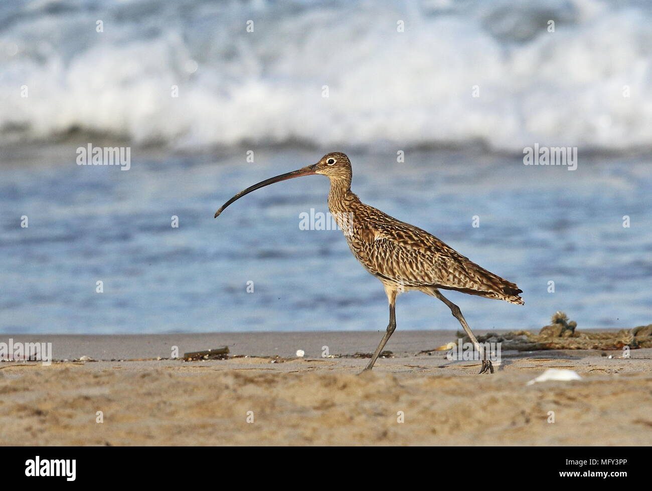 Far Eastern Curlew (Numenius madagascariensis) adult walking on beach  Yehliu Peninsula, Taiwan                         April - Stock Image