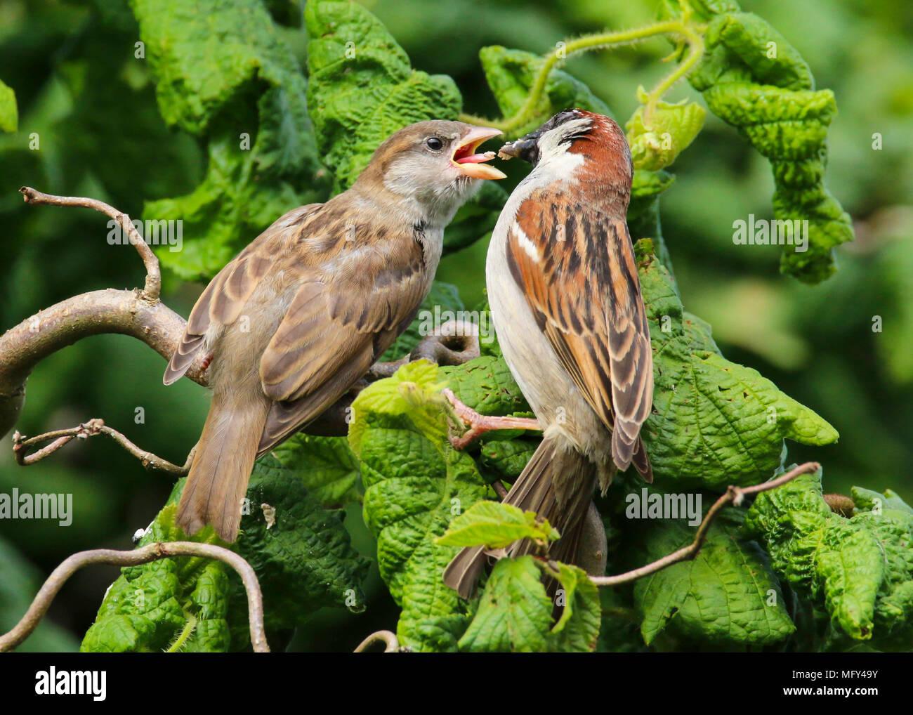 Juvenile House Sparrow Stock Photos Amp Juvenile House