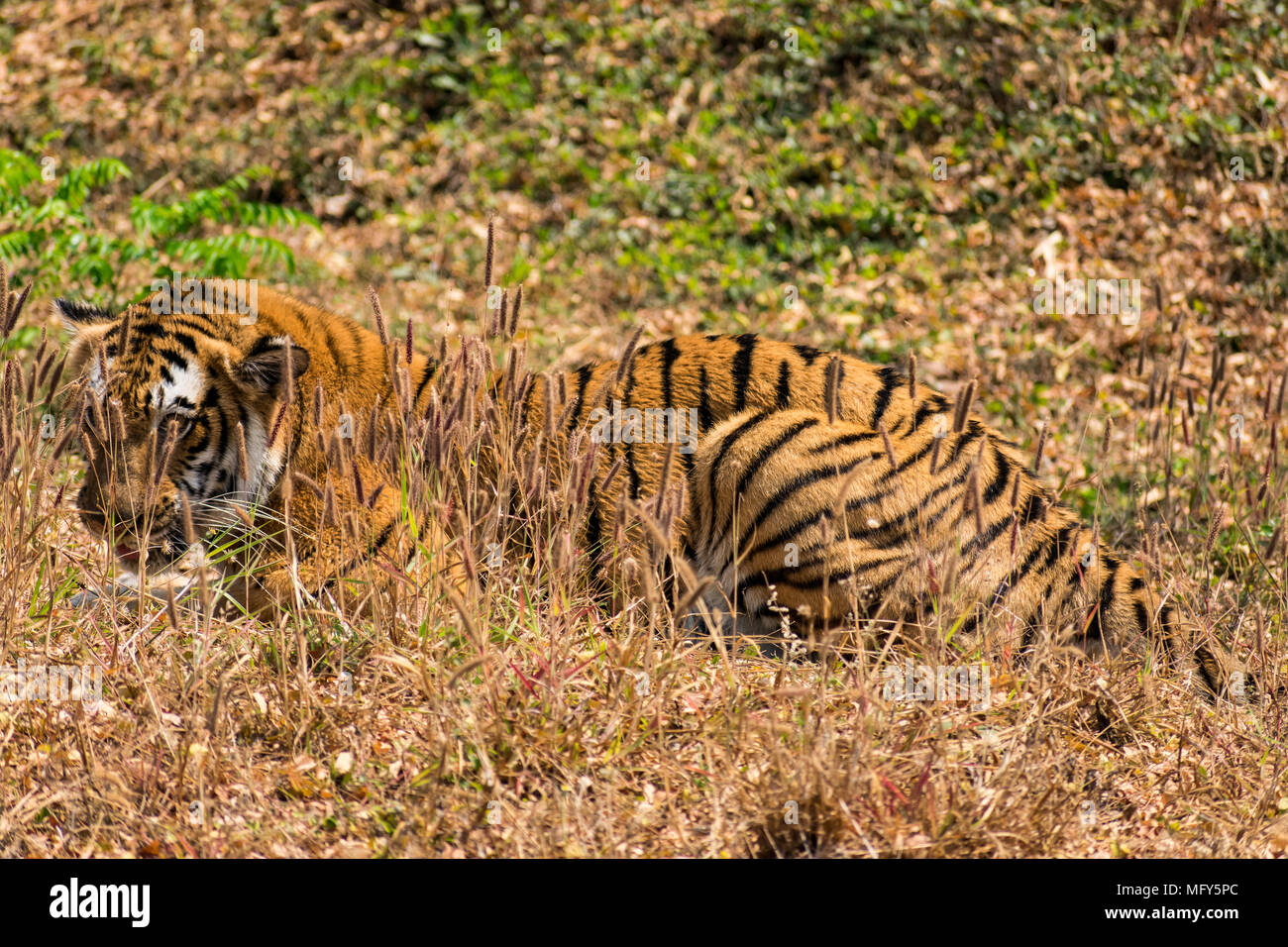 Bengal tiger  close view at zoo at different position at national park. Stock Photo