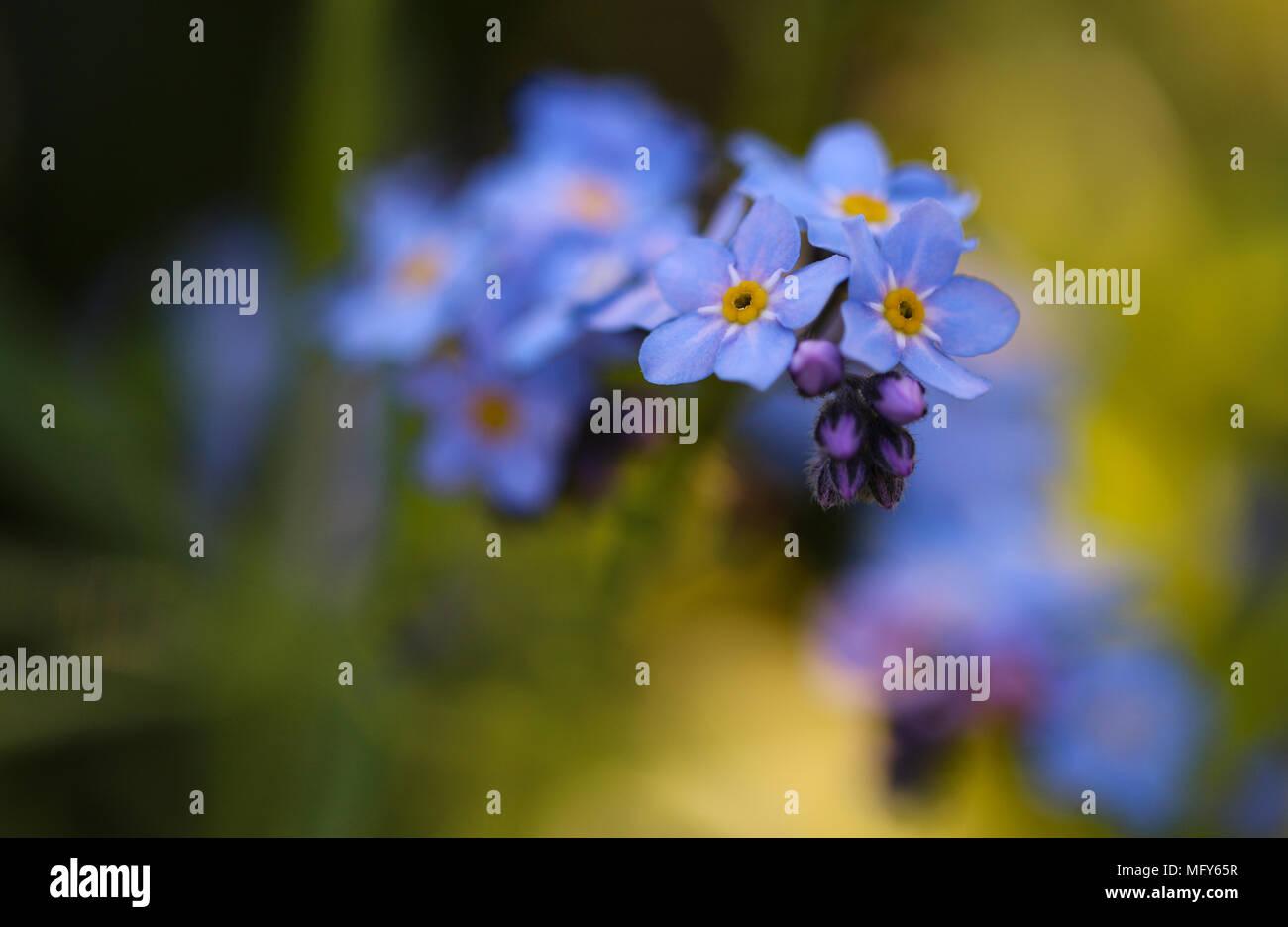 Forget me not myosotis sylviatica macro image showing delicate forget me not myosotis sylviatica macro image showing delicate blue flowers with yellow centre shepperton england uk mightylinksfo