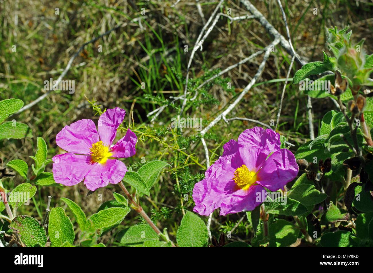 graines Cistus x Incanus Rose Cistus X Incanus seeds pink