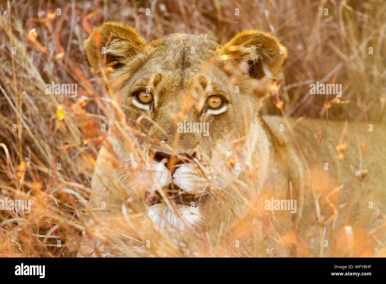 Photographed on an evening game drive, from an open top safari vehicle. She was part of a small pride of lions that were resting in the grass. - Stock Image
