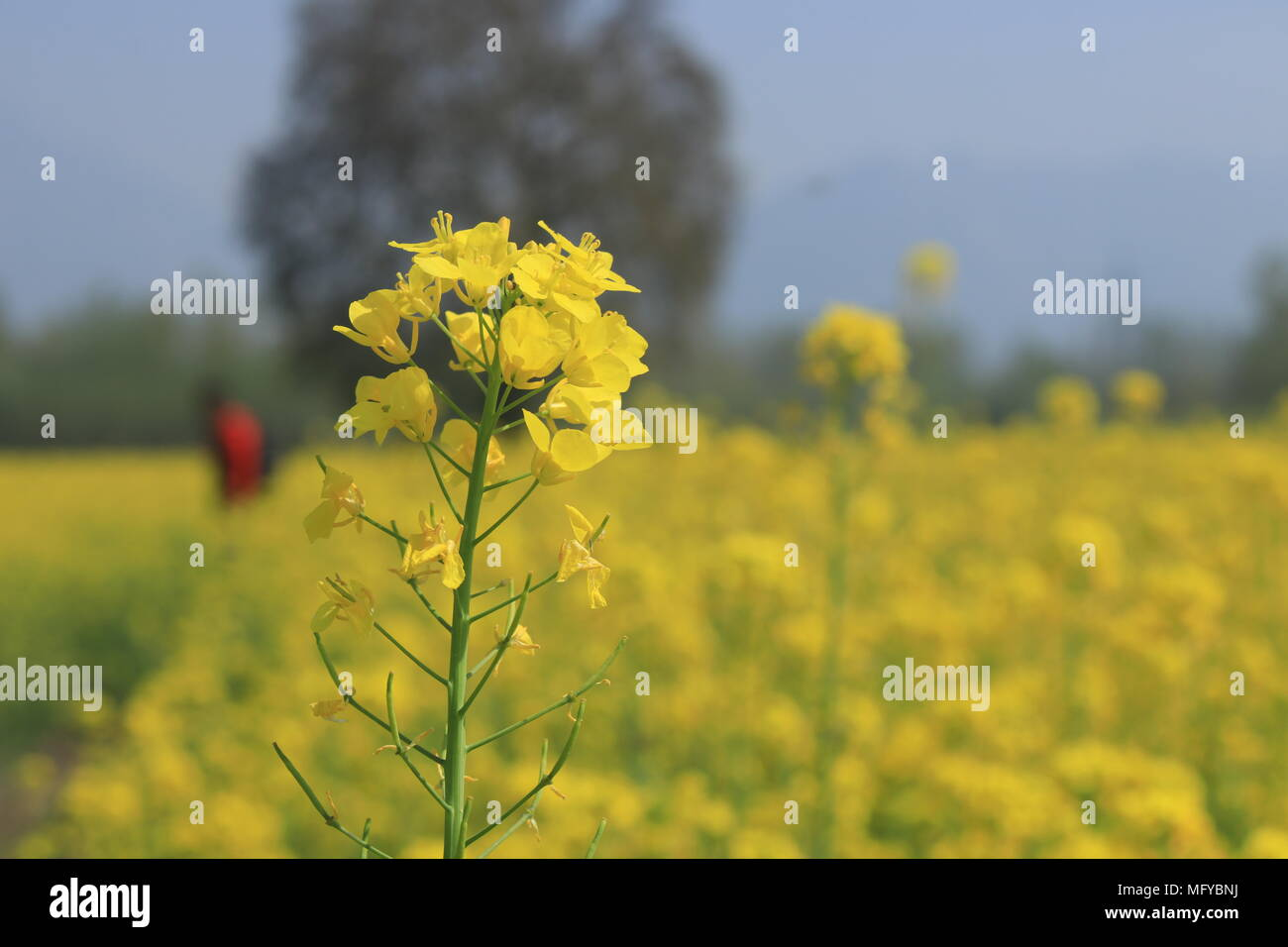 Srinagar india 31st mar 2018 the yellow flowers called mustard the yellow flowers called mustard flowers have started to blossom in srinagar kashmirstard is an annual crop mustard sowing is done in the months of mightylinksfo