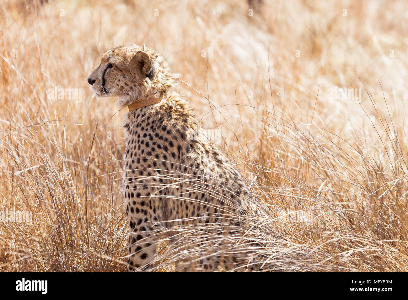 Photographed on safari in a South African game reserve. Notice the Cheetah has a tracking collar around its neck - used for conservation purposes - Stock Image