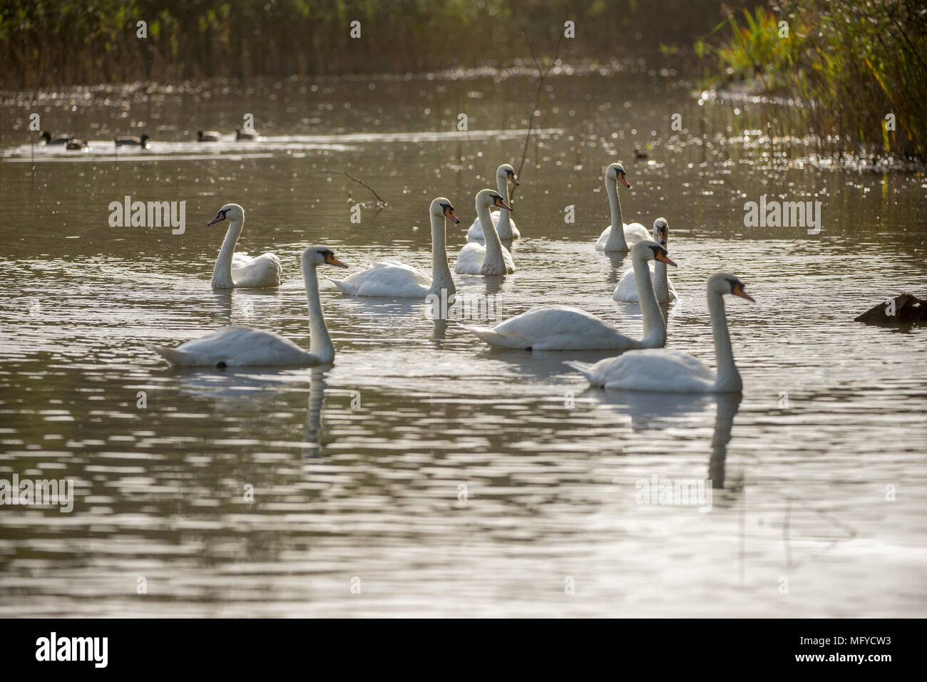 Swans swimming on a lake with evening Autumn light and still water - Stock Image