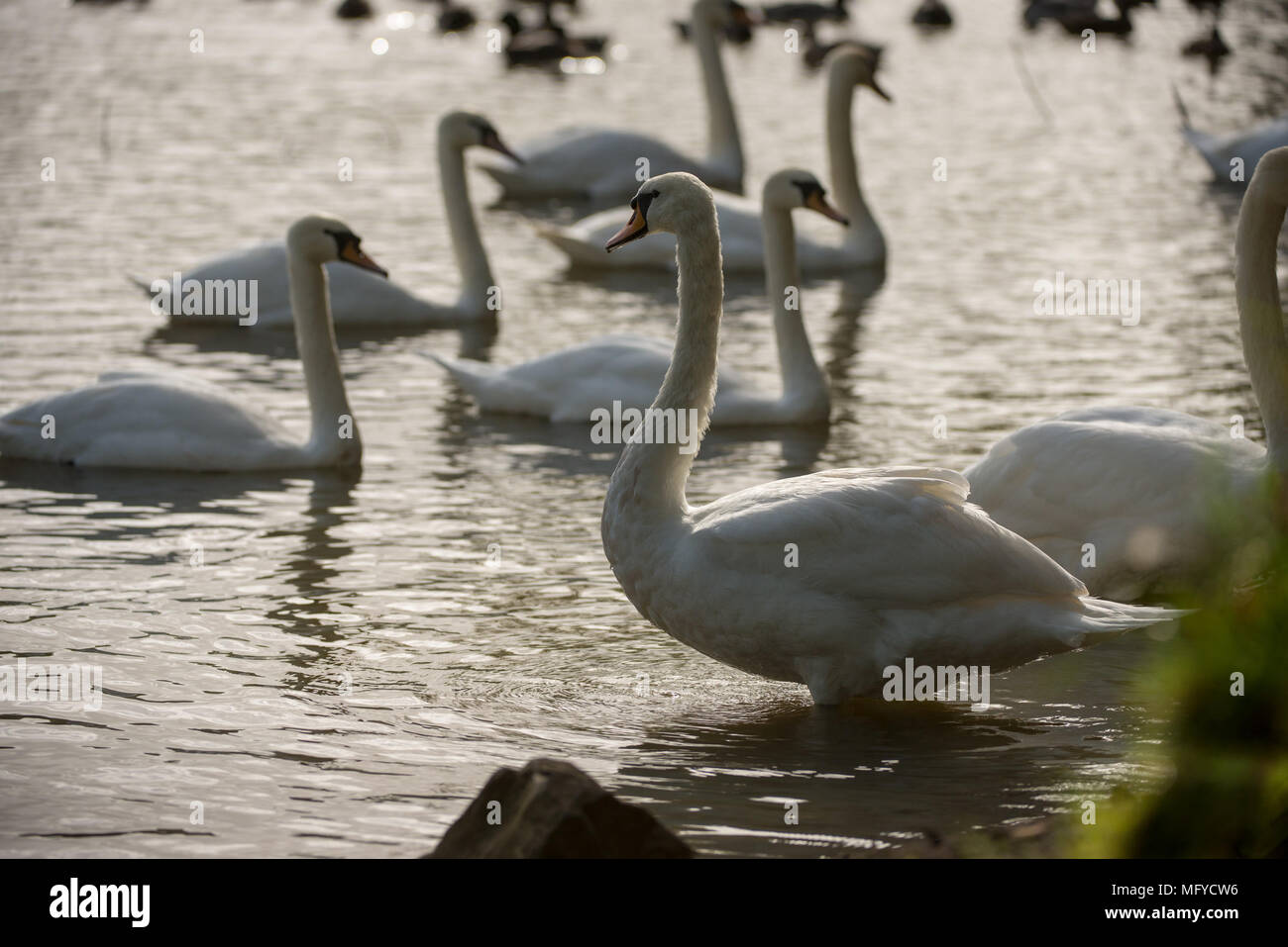 A group of swans swimming on a lake with evening Autumn light - Stock Image