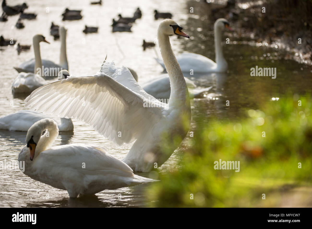 Swans swimming on a lake with evening Autumn light - Stock Image