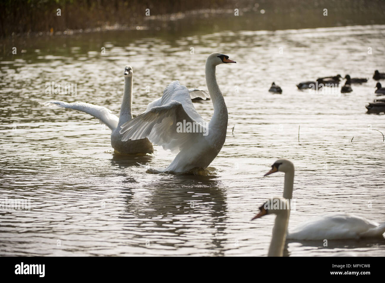 Swans lifting their wings on a lake with evening Autumn light - Stock Image