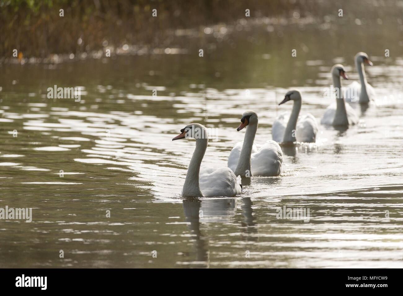 Swans swimming in a row on a lake with evening Autumn light - Stock Image