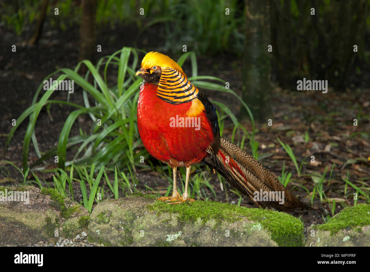 Male Golden Pheasant /Chinese Pheasant standing on a stone with bright red crest, striped black/ gold collar, brilliant red plumage and long tail. - Stock Image