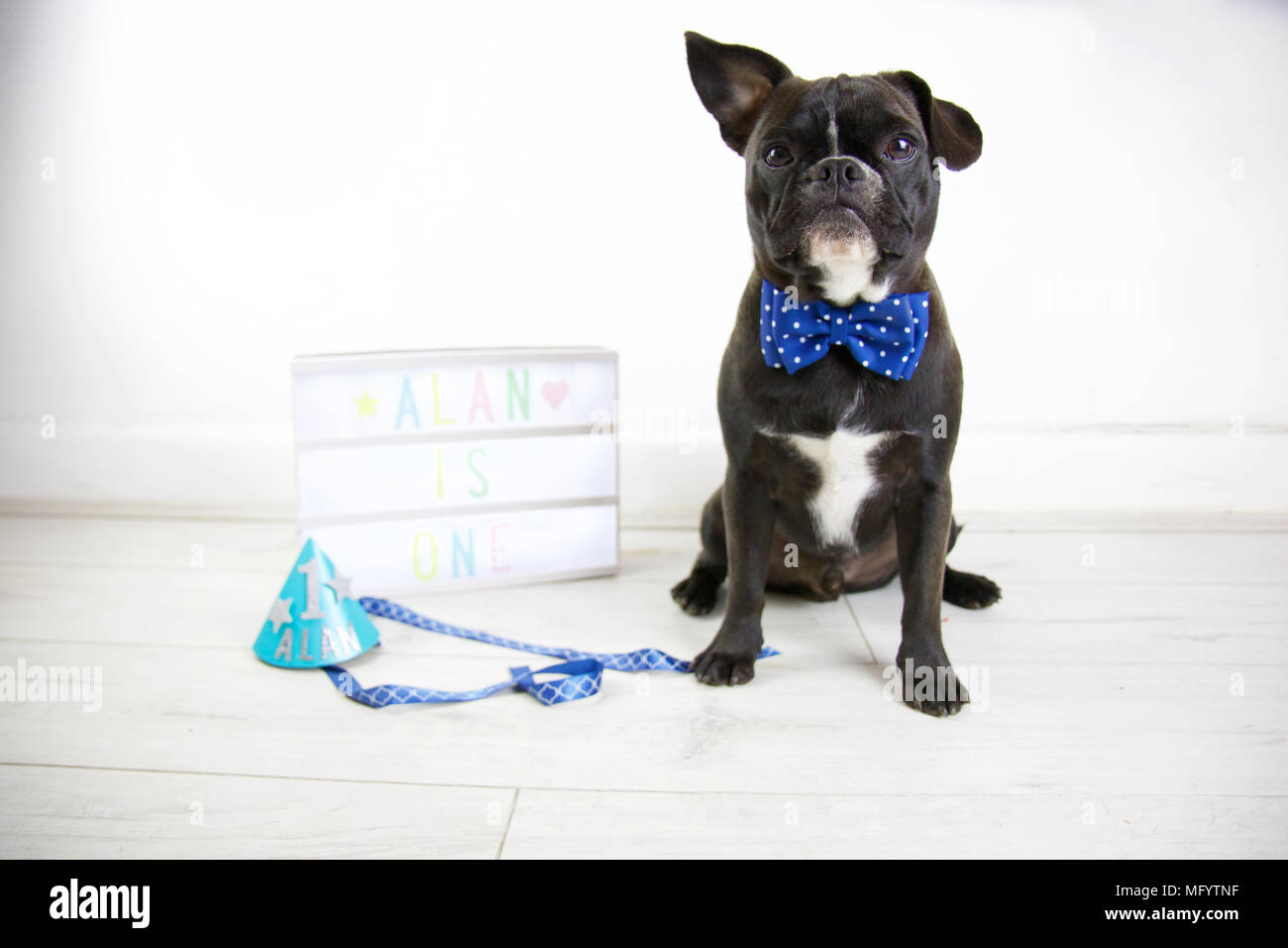 French Bulldog celebrates birthday with dog cake smash. Turning one wearing party hat and bow tie with lightbox and dog birthday cake. One ear up. - Stock Image