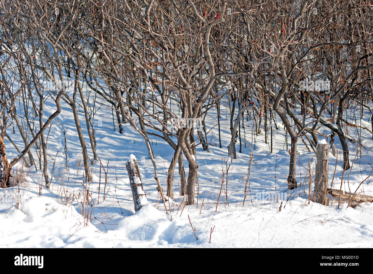 Young saplings in snow - Stock Image