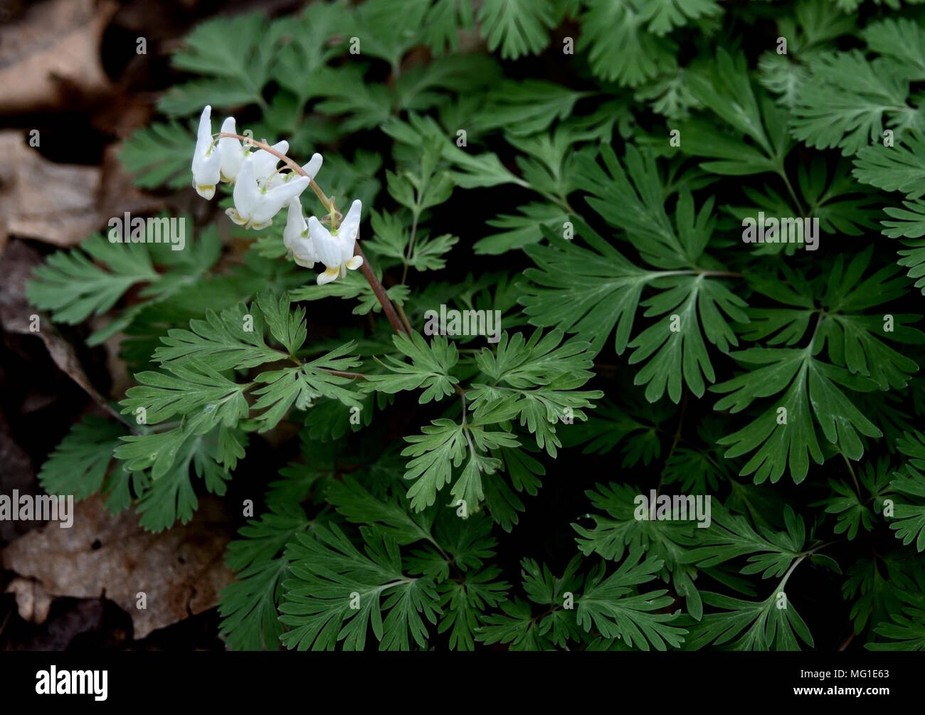 Unusual White Flowers Of Dutchmans Breeches Emerging In A Spring