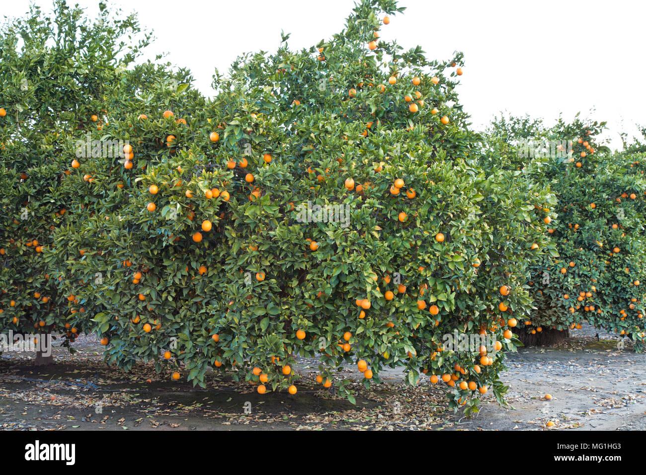 Maturing Cutter nucellar Valencia Oranges on tree 'Citrus sinensis'. - Stock Image