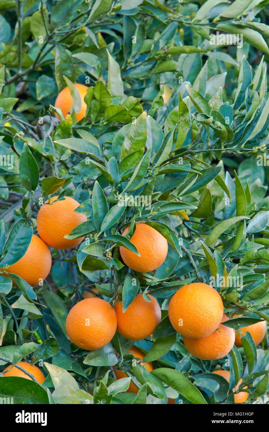 Cutter nucellar Valencia Orange on tree 'Citrus sinensis'. - Stock Image